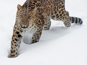 Amur Leopard in Snow by Stephanie O'Neil - February 2021 Second Place