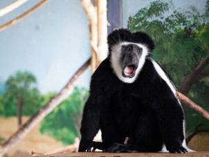 Colobus Monkey by Marketa Bement - February 2021 Honorable Mention