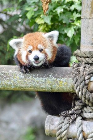 Red Panda Crystal Jacob Syracuse Zoo Pic of the Month Winner April 2020
