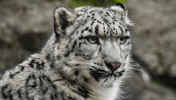 Syracuse Zoo RGZ Preservation Pointers Snow Leopard Day Feature