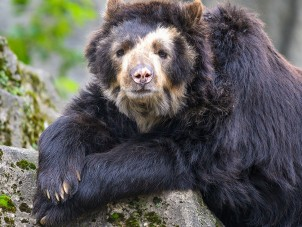 Andean Bear Kahless Brent Farrell Syracuse Zoo RGZ POTM October 2019 Honorable Mention