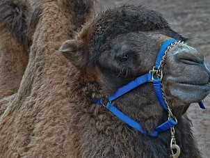 Bactrian Camel Jan Miner Syracuse Zoo RGZ POTM Jan 2020 Honorable Mention