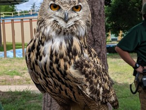 Eagon Eurasian Eagle Owl Ashley Gouger Syracuse Zoo RGZ POTM April 2020 Honorable Mention2