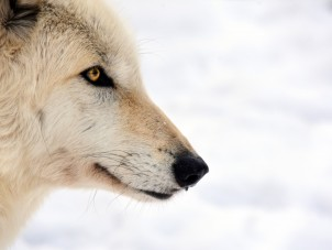 Grey Wolf Mark Avery Syracuse Zoo RGZ POTM Jan 2020 Judges Choice