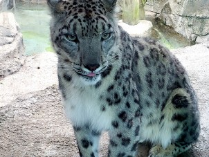 Ozzy Snow Leopard Ted Krenrich June 2020 Winner