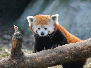 Red Panda Karyn Knaul Syracuse Zoo RGZ POTM December 2019 Winner