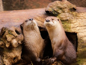 River Otter Rachel Deihl Syracuse Zoo RGZ POTM Feb 2020 Honorable Mention