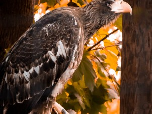 Stellers Sea Eagle Nick Panagakis Syracuse Zoo RGZ POTM Oct 2019 Winner